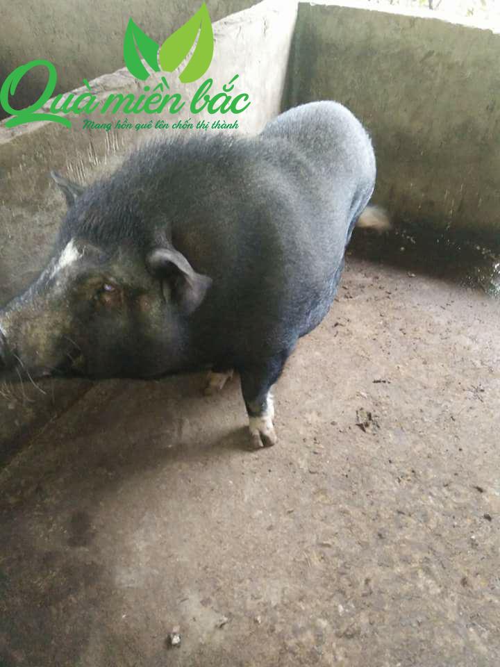 Lợn chọn làm thịt lợn gác bếp là những con lợn Bản đã chắc thịt