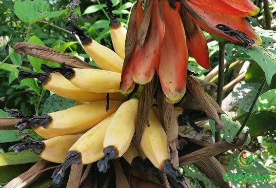 cây chuối hột rừng Sơn La tự nhiên
