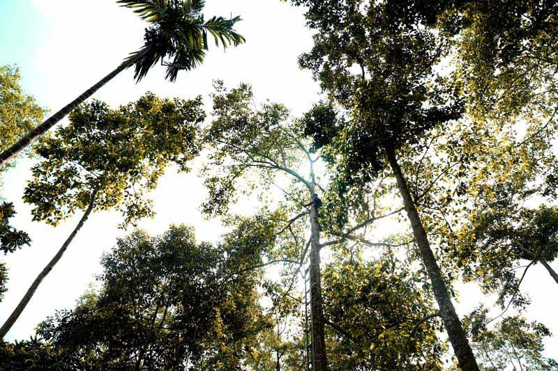cây dổi rừng Tây Bắc