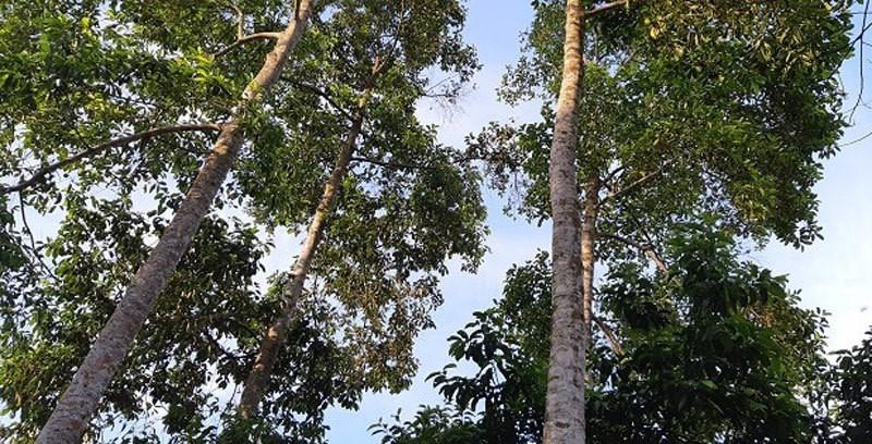 Cây dổi rừng càng già thì chất lượng hạt càng tốt